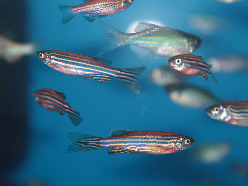 Picture of Zebrafish