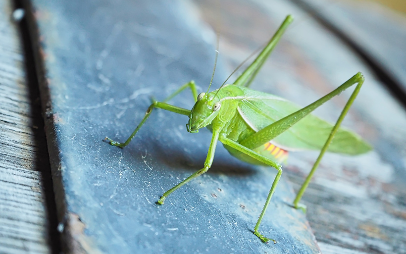 Picture of a bush cricket or katydid