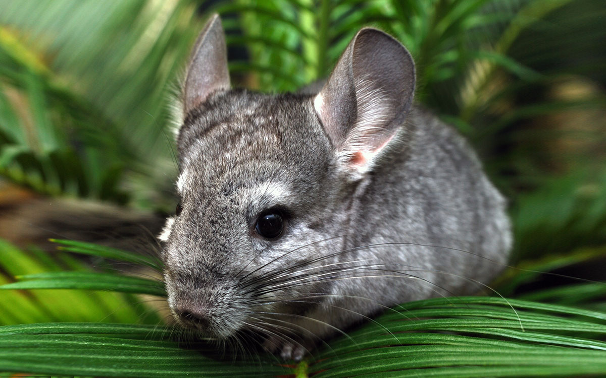 Chinchillas and the advancements of restoring hearing.